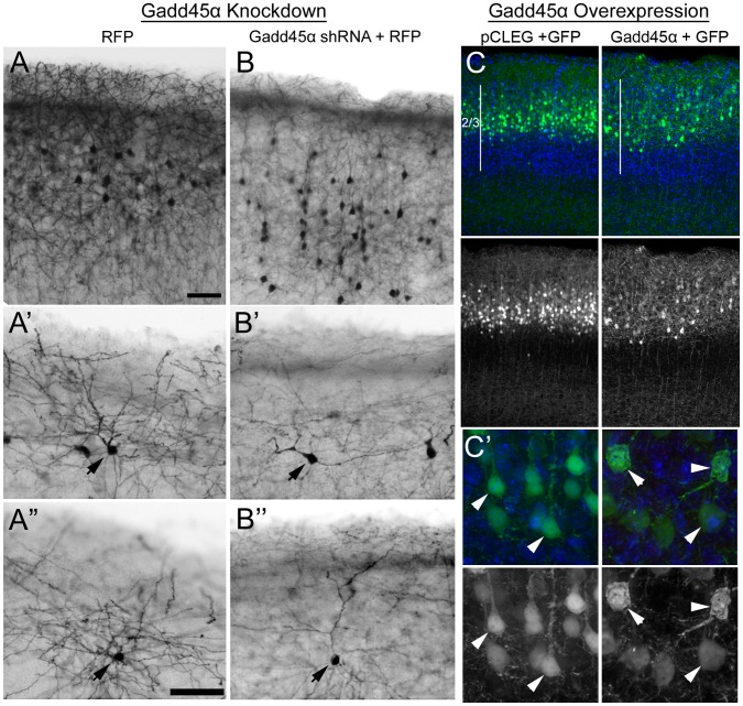 "Gadd45a expression is critical for development of normal neuron morphology in neocortex. E15.5 mouse cerebral cortex was electroporated with constructs designed to reduce or increase Gadd45a levels in electroporated cells. Each construct was co-electroporated with vectors encoding red (RFP) or green (GFP) fluorescent reporter protein. RFP or GFP-positive neurons were analyzed at P14 or P10 respectively (n = 4–6 brains/group from two separate litters). ( A and B ) Although most Gadd45a shRNA-treated neurons ( B ) reached the upper layers of neocortex, there were significantly more cells distributed beneath upper layers compared to RFP alone ( A ) (also see Fig. S8 ). Higher magnification of control neurons ( A' and A"" ) and Gadd45a shRNA-treated ( B' and B"" ) reveals that the dendritic processes of neurons expressing Gadd45a shRNA are less arborized than those of neurons expressing RFP alone. Arrows indicate somas of RFP positive neurons. ( C ) Migration of neurons to the upper layers (2/3) of neocortex is unaffected by overexpression of Gadd45a. Left panels show neurons in control brains. Right panels show neurons overexpressing Gadd45a. ( C' ) Higher magnification images show examples of Gadd45a-AU1 neurons (right panels) with hypertrophied, multipolar shaped somas compared to control neurons (left panels). Scale bars = 50 µm ( A, A"" )."