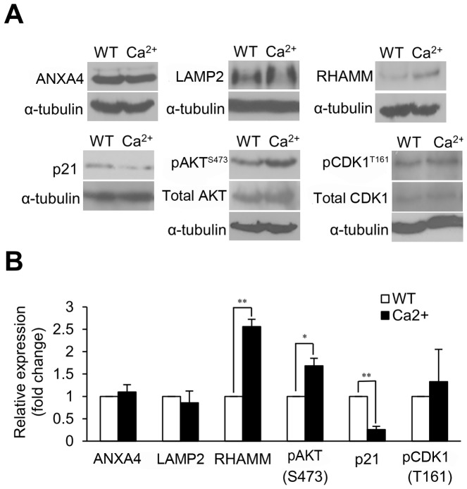 Ca 2+ mediates the expression of RHAMM, phospho-AKT and p21. (A) Cells were treated with ionomycin to increase intracellular Ca 2+ levels, and the expression levels of ANXA4, LAMP2, RHAMM, phospho-AKT (Ser473), p21, and phospho-CDK1 (Thr161) were showed by immunoblotting. (B) The histogram shows the related levels of (A). The relative expressions of RHAMM ( P