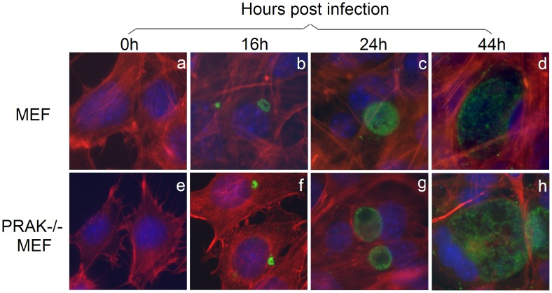 Replication of C. trachomatis organisms in PRAK-deficient mouse embryo fibroblast cells. Mouse embryo fibroblast cells (MEF) without (panels a–d) or with (e–h) PRAK deficiency (PRAK−/−) were infected with (b–d f–h) or without (a e) C. trachomatis (MOI = 0.5) for various periods of time as indicated on top of the figure. The cultures were processed for immunofluorescence assay with a rabbit antibody for visualizing chlamydial organisms (green), Alexa-Fluor 568 Phalloidin for host cell F-actin (red) and Hoechst dye for DNA (blue). Note that the inclusion sizes were similar in MEF with or without PRAK deficiency.