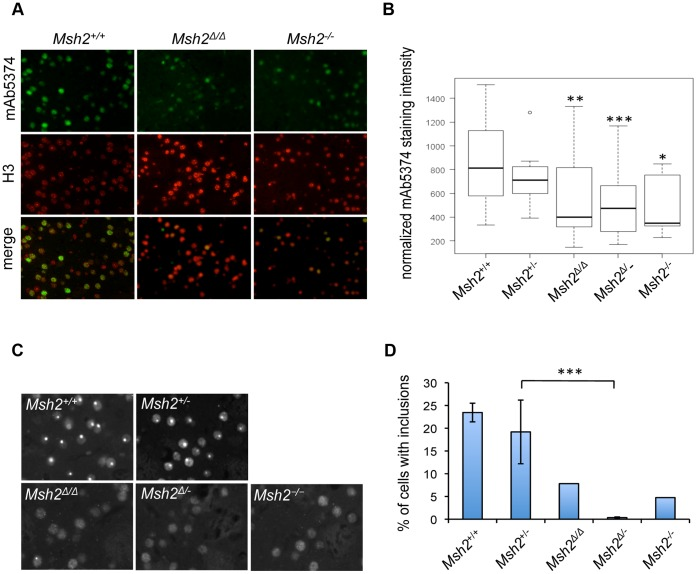 Deletion of Msh2 in medium-spiny neurons delays nuclear huntingtin phenotypes. A, B. Nuclear mutant huntingtin immunostaining is decreased in the striata of five-month old HdhQ111 /+ mice with deletion of Msh2 in MSNs. A. Fluorescent micrographs of striata double-stained with anti-huntingtin mAb5374 and anti-histone H3 antibodies for three CAG repeat length-matched mice ( Msh2 +/+ CAG 113, Msh2Δ / Δ CAG 112, Msh2−/− CAG 113). B. Box plot showing upper and lower quartiles, median and range for the normalized mAb5374 immunostaining intensity (total mAb5374 staining intensity normalized to the number of H3-positive nuclei). Outlier (circle) is defined by a standard interquartile method and is included in the analysis. Multiple regression analysis was used to determine the effect of Msh2 genotype on mAb5374 staining using normalized mAb5374 intensity (continuous variable) as a dependent variable and Msh2 genotype (discrete variable), constitutive CAG length (continuous variable) and position (medial versus lateral, discrete variable) as independent variables. Both constitutive CAG length (P