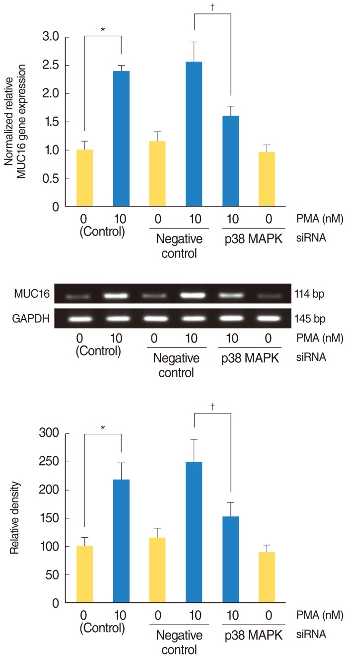 The effect of p38 MAPK siRNA on the phosphorylation of p38 MAPK in PMA-induced MUC16 mRNA expression in the NCI-H292 airway epithelial cells. MUC16 mRNA expression was analyzed using reverse transcriptase-polymerase chain reaction (RT-PCR), real-time PCR. The knockdown of p38 MAPK by p38 MAPK siRNA significantly blocked PMA-induced MUC16 mRNA expression. MAPK, mitogen-activated protein kinase; PMA, phorbol 12-myristate 13-acetate; siRNA, small interfering RNA; GAPDH, glyceraldehyde-3-phosphate dehydrogenase. * P