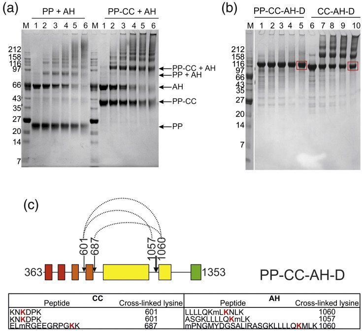 Interdomain cross-links in CHD4. (a) The ATPase domain of CHD4 (AH) was mixed with either the tandem PHD domains (PP) or the tandem PHD plus tandem chromo domains (PP-CC) at a 1:1 molar ratio, and was then incubated with H 12 /D 12 -labeled BS 3 cross-linker in the following protein:cross-linker molar ratios: 1:0 (lane 1), 1:20 (lane 2), 1:50 (lane 3), 1:100 (lane 4), 1:200 (lane 5), and 1:500 (lane 6) for 30 min at room temperature. The protein molecular mass marker (M) is NEB Broad Range. Each reaction was stopped by the addition of 1/10 volume of 1 M Tris, pH 8.0, for 15 min. The reaction mix was separated on a NuPAGE 4–12% Bistris gel and stained with Coomassie Brilliant Blue stain. (b) The above procedure was repeated for constructs PP-CC-AH-D and CC-AH-D separately, each at the following protein:cross-linker ratios: 1:0 (lanes 1 and 6), 1:20 (lanes 2 and 7), 1:50 (lanes 3 and 8), 1:100 (lanes 4 and 9), and 1:200 (lanes 5 and 10). SDS-PAGE bands from lanes 5 and 10 found to have a molecular mass consistent with that of either monomeric PP-CC-AH-D or monomeric CC-AH-D, respectively, are indicated in red boxes. (c) The indicated gel bands were excised, trypsinized, and subjected to LC–MS/MS analysis. Cross-links between the chromo and ATPase-helicase domains within each construct were identified using Xlink-Identifier and are indicated by dotted lines. The sequence of each cross-linked peptide is tabulated below, where each modified lysine is represented in bold, red typeface. The residue numbers of these modified sites are indicated within the table and above the figure. Oxidized methionine residues are denoted in lower case.