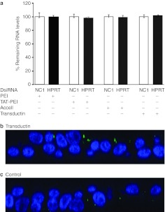 DsiRNA delivery has no silencing effect in well-differentiated PAE cultures. ( a ) Well-differentiated PAE cultures were transfected with HPRT or NC1 DsiRNA (250 nmol/l) using PEI, Transductin or TAT-PEI, or Accell siRNA at the indicated concentrations. The cells were harvested for <t>RNA</t> after 24 hours, and reverse transcribed into cDNA, which was quantified by quantitative PCR (qPCR). All mRNA levels were normalized to NC1-treated samples. Mean levels (±SD) were calculated from three biological replicates (in triplicate). ( b – c ) Confocal images (x–z stacks) of epithelia 2 hours after transfection with DIG- HPRT DsiRNA complexed with Transductin ( b ) or without any transfection reagent ( c ). Blue, labeled nuclei; green, DIG-labeled <t>oligo.</t>