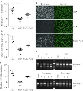 Pip6e-phosphorodiamidate morpholino oligonucleotide (PMO) treatment normalizes serum dystromir abundance. Twelve-week-old mdx mice were injected with a single 12.5 mg/kg dose of Pip6e-PMO intravenously and harvested 2 weeks later. Serum samples were analyzed for the expression of ( a ) miR-1, ( b ) miR-133a, and ( c ) miR-206 by small RNA TaqMan RT-qPCR. miRNA levels were normalized to miR-223 expression and fold changes presented relative to the wild-type C57 average. ( d ) Representative immunofluorescence images of tibialis anterior muscle showing restoration of dystrophin at the sarcolemma in mdx mice following treatment with Pip6e-PMO. Samples were co-stained with laminin to indicate muscle fibers. ( e ) RT-PCR shows skipping of dystrophin exon 23 across various muscle groups. Values are mean ± SEM, n = 4, * P