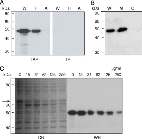 Immuno-detection of PhoA in fractionated or trypsin treated cellular proteins. A . Triton X-114 partitioning of  M. gallisepticum   cell proteins. Proteins of pTAP or pTP transformed cells were separated into hydrophobic and aqueous fractions by Triton X-114 partitioning, Western transferred and probed with a MAb to alkaline phosphatase. Panel TAP,  M. gallisepticum   transformed with pTAP and expressing PhoA. Panel  A ,  M. gallisepticum   transformed with pTP cells. Lanes W, whole-cells; H, hydrophobic fraction; A, aqueous fraction.  B . Immunostaining of cytosolic and membrane fractions of mycoplasma transformants expressing alkaline phosphatase. The fractions were separated on 10% SDS-polyacrylamide gels, Western transferred and immunostained using a MAb to alkaline phosphatase. Lanes W, whole cells; M, membrane fraction and C, cytosolic fraction.  C . Surface proteolysis of PhoA. Whole pTAP transformant cells were treated with increasing concentrations of trypsin, the proteins then separated on 10% SDS-polyacrylamide gels, Western transferred and immunostained using a MAb to AP. Trypsin concentrations (μg/ml) are indicated above each lane. Panels CB, Coomassie brilliant blue stained; WB, Western blot probed with MAb to AP. The arrow indicates the 67kDa VlhA, which was degraded by increasing concentrations of trypsin. The tryptic products of VlhA can also be seen. Most cellular proteins were minimally affected.