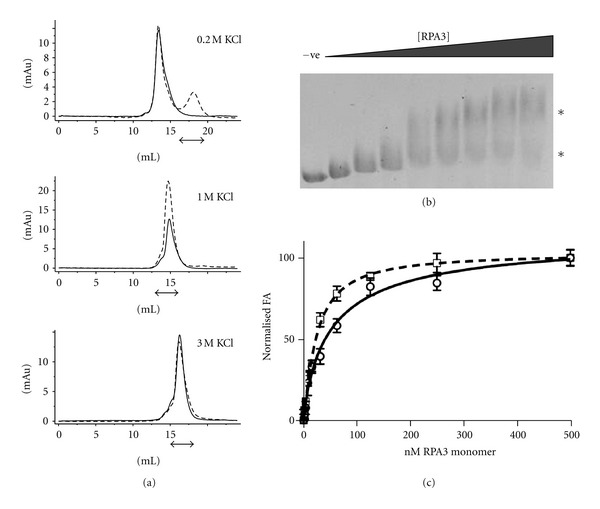 (a) Size exclusion profiles of HvRPA3 in the presence (dashed line) and absence (solid line) of equimolar (based on monomeric protein concentration) 18mer ssDNA in 0.2, 1, and 3 M KCl. The x axis shows elution volume (mls) and the y axis absorbance at 280 nm. Arrows indicate the elution position of ssDNA. (b) Agarose gel retardation assay of HvRPA3 titrated into reactions containing PhiX174 ssDNA. −ve indicates negative control containing no HvRPA3. Increasing quantities of HvRPA3 were used −11, 22, 33, 55, 75, 98, 120, and 125 μ g. Asterisks indicate the concentration-dependent, differentially migrating forms of complex. (c) Titration of the indicated concentrations of HvRPA3 (calculated for monomer due to the potential independence of binding sites in the dimeric form) plotted against normalised FA of the Cy5-labelled 18mer in 1 M (solid line) and 3 M (dashed line) KCl. Data were fitted to a Hill binding model. Produced using GraphPad Prism.