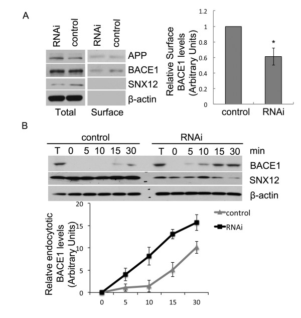 Downregulation of SNX12 accelerates the endocytosis of BACE1 and decreases the cell surface level of BACE1. ( A ) After RNAi downregulation of SNX12, SH-SY5Y cells were subjected to biotinylation. Cell lysates were affinity-precipitated with streptavidin-agarose beads to pull down biotinylated proteins that were at the cell surface. The levels of biotinylated BACE1 and APP, as well as their total protein levels, were analyzed by Western blot. Cell surface levels of BACE1 were quantified by densitometry and normalized to that of control (set as one arbitrary unit) for comparison. N = 3, *: p