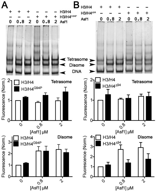 Lack of the H4 C-terminal tail but not H4 G94P alters anti-silencing function 1 (Asf1)-mediated disome formation. H3/H4 G94P (A) or H3/H4 ∆94 (B) were compared to wild-type (WT) H3/H4, all at 0.8 μM dimer concentration, for their ability to form tetrasomes and disomes on 80 bp 5 S DNA (0.4 μM) in the absence and presence of Asf1 (0, 0.8, 2.0 μM). Upper panels show images of <t>SYBR</t> <t>Green</t> I stained DNA, and lower panels show the quantitation of the amount of disomes and tetrasomes formed for each type of histone, from at least three independent experiments. Tetrasome and disome levels were normalized to the WT H3/H4 sample in the absence of Asf1.