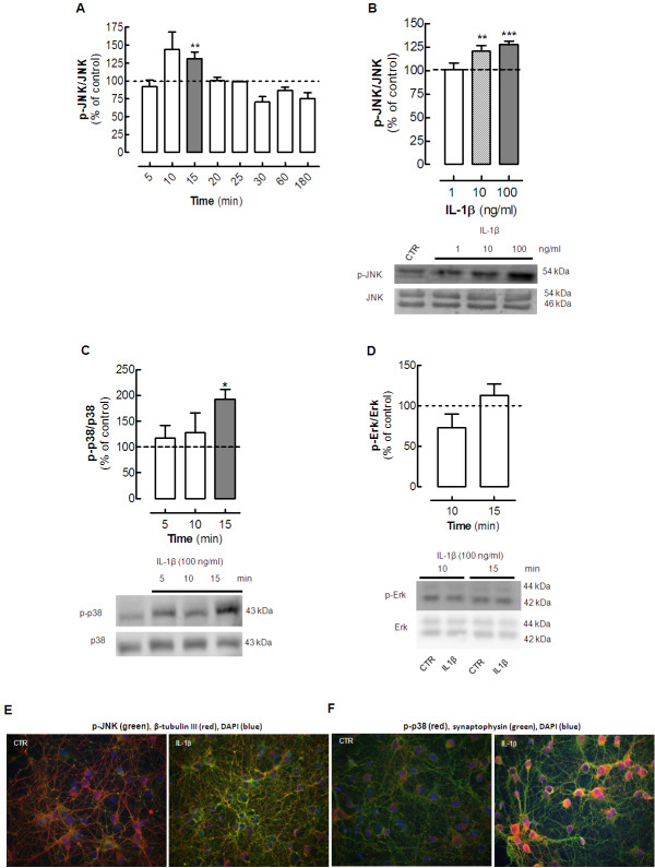Interleukin (IL)-1β triggers the phosphorylation of the mitogen-activated protein kinases (MAPKs) Jun kinase (JNK) and <t>p38</t> in hippocampal cultured neurons. Rat hippocampal neurons at 7 days in vitro (DIV), were exposed to various concentrations of IL-1β (1 to 100 ng/ml, prepared in Krebs buffer; pH 7.4) for different times (5, 10, 15, 20, 25, 30, 60 and 180 minutes), after which cells were either lysed on ice in radio-immunoprecipitation assay (RIPA) buffer for ( A–D ) western blotting analysis or fixed for ( E–F ) immunocytochemical analysis of the pattern of activation (phosphorylation) of the various MAPKs. ( A ) IL-1β (10 ng/ml) activated JNK in a time-dependent manner, reaching significance at 10 to 15 minutes of incubation with IL-1β. ( B ) Activation of JNK increased in line with increasing concentrations of IL-1β. ( C ) After 15 minutes of exposure to 100 ng/ml IL-1β, p38 <t>MAPK</t> was also activated. ( D ) However, under similar experimental conditions, IL-1β failed to significantly affect the amount of phosphorylated p42 ERK. In each panel, the bar graphs display the mean ± SEM of four to eight cultures, and the blots below illustrate a representative experiment. Membranes were first used to detect the phosphorylated MAPK, and then reprobed for the total amount of MAPK. MAPK activation was calculated as a ratio between the phosphorylated and total immunoreactivities, expressed as a percentage of the control values (that is, in the absence of IL-1β). The values are mean ± SEM of four to eight experiments, * P