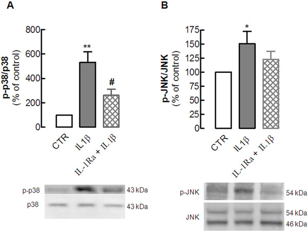 Interleukin (IL)-1β type I receptor mediates the IL-1β-induced phosphorylation of the mitogen-activated protein kinases (MAPKs) Jun kinase (JNK) and p38 in hippocampal cultured neurons . Rat hippocampal neuronal cultures at 7 days in vitro (DIV) were exposed to 100 ng/ml IL-1β for 15 minutes in the absence or in the presence of the antagonist of the IL-1β type I receptor, IL-1Ra (5 μg/ml), added 30 minutes before addition of IL-1β. Cells were then lysed on ice in a minimum volume of radio-immunoprecipitation assay (RIPA) buffer for western blotting analysis to quantify the immunoreactivity of the activated (phosphorylated) form of ( A ) p38 (p-p38) and ( B ) JNK (p-JNK). In both panels, the bar graphs display the mean ± SEM of three to four experiments, and the blots below illustrate a representative experiment showing that IL-1Ra ( A ) prevented the IL-1β-induced phosphorylation of p38 and ( B ) attenuated the phosphorylation of JNK. In each experiment, membranes were first used to detect each phosphorylated MAPK, and then reprobed for the total amount of MAPK, so that the activation of each MAPK was calculated as a ratio between the phosphorylated and total immunoreactivities, which were expressed as a percentage of control (CTR) values (that is, in the absence of any added drug). * P