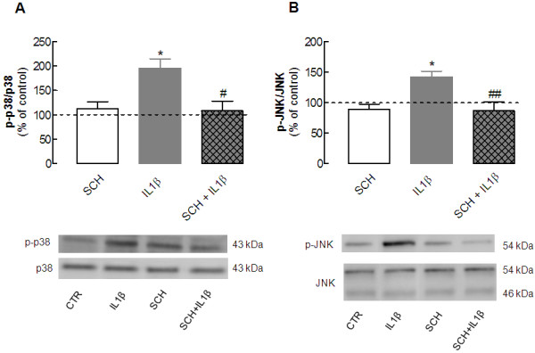 Blockade of adenosine A 2A receptors prevents the interleukin (IL)-1β-induced activation of the mitogen-activated protein kinases (MAPKs) Jun kinase (JNK) and p38 in hippocampal cultured neurons. Rat hippocampal neuronal cultures at 7 days in vitro (DIV) were exposed to 100 ng/ml IL-1β for 15 minutes in the absence or presence of 50 nmol/l SCH58261, an antagonist of adenosine A 2A receptors, which was added 20 minutes before addition of IL-1β. Cells were then lysed on ice in a minimum volume of radio-immunoprecipitation assay (RIPA) buffer for western blotting analysis to quantify the immunoreactivity of the activated (phosphorylated) form of ( A ) p38 (p-p38) and ( B ) JNK (p-JNK). In both panels, the bar graphs display the mean ± SEM of five to six experiments, and the blots below illustrate a representative experiment showing that SCH58261 prevented the IL-1β-induced phosphorylation of ( A ) p38 and ( B ) JNK, without having any effect itself on either of these. In each experiment, membranes were first used to detect each phosphorylated MAPK and then reprobed for the total amount of MAPK, so that the activation of each MAPK was calculated as a ratio between the phosphorylated and total immunoreactivities, which were expressed as a percentage of control (CTR) values (that is , in the absence of any added drug). * P