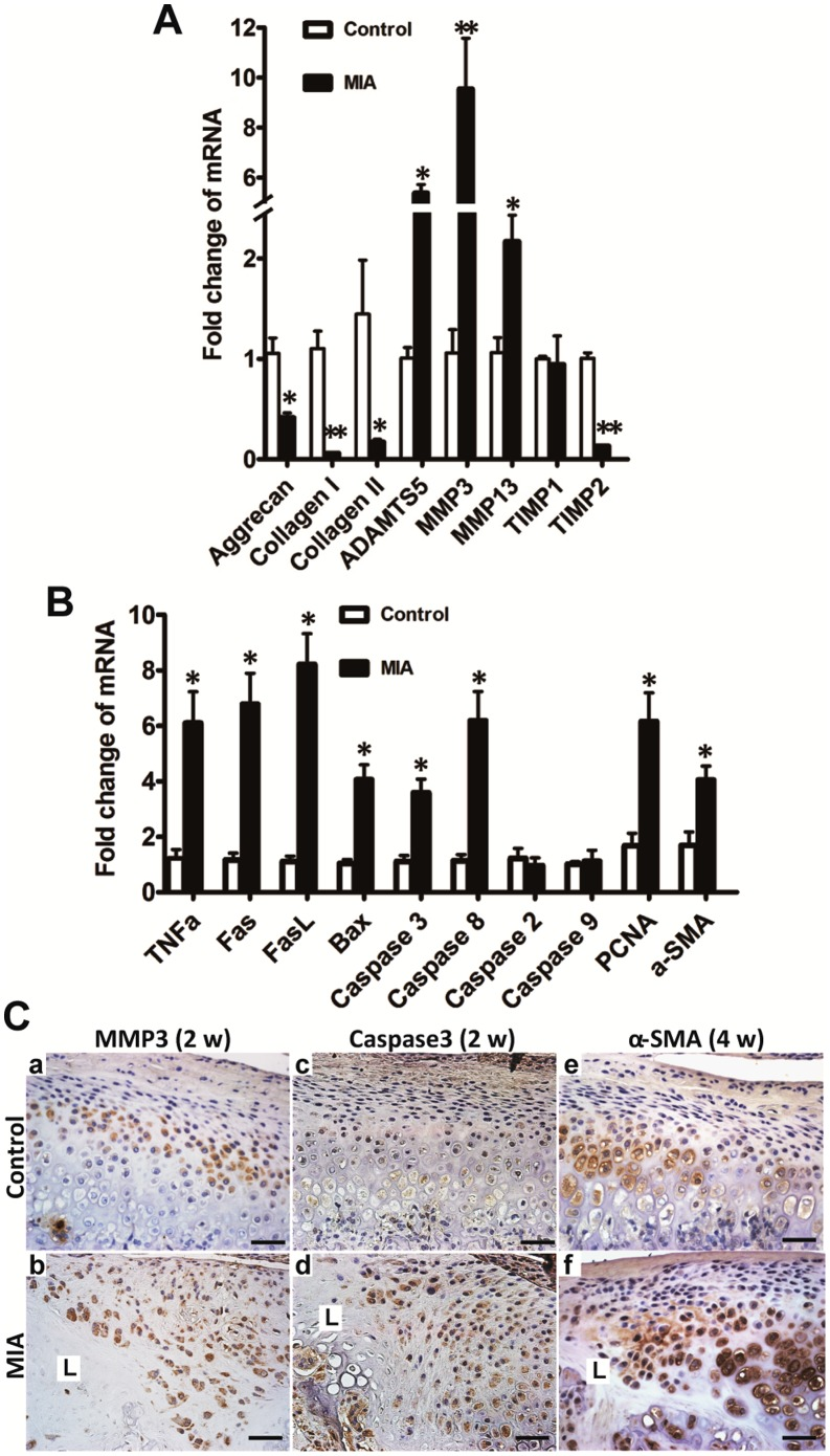 Changes in gene and protein expression in condyle following MIA injection were evaluated by real-time PCR and <t>IHC,</t> respectively. A. Two weeks after MIA injection, anabolism-associated aggrecan and collagen I and II were downregulated compared with the control group. Catabolism-associated MMP3, MMP13, and ADAMTS5 were upregulated and TIMP2, but not TIMP1, was correspondingly downregulated. B. Two weeks after MIA (0.5 mg) injection, apoptosis-associated genes of the death receptor family, such as, TNFα, Fas, FasL, caspase8, caspase3, and BAX, but not caspase2 and caspase9, were significantly elevated in the MIA injection group; PCNA and α-SMA, representing proliferation and fibrous restoration, respectively, were upregulated (mean ± SEM; n = 6; ** P