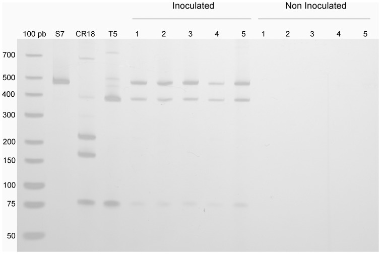 Dominance of the inoculated strains after SSF as revealed by their RFLP profiles. The RFLP profiles from the 16S rRNA genes of the selected strains (S7, CR18 and T5) were generated using a culture-independent approach. DNA was extracted directly from FSBM (inoculated and non-Inoculated groups), and the PCR amplicons were digested with the restriction enzymes Bmt I and BtsC I. The figure shows the RFLPs of the selected strains (S7, CR18 and T5) and the RFLP profiles from five replicates of inoculated and non-inoculated SSFs. The arrows indicate the presence of the S7 and T5 strains as dominant in the fermentation process.