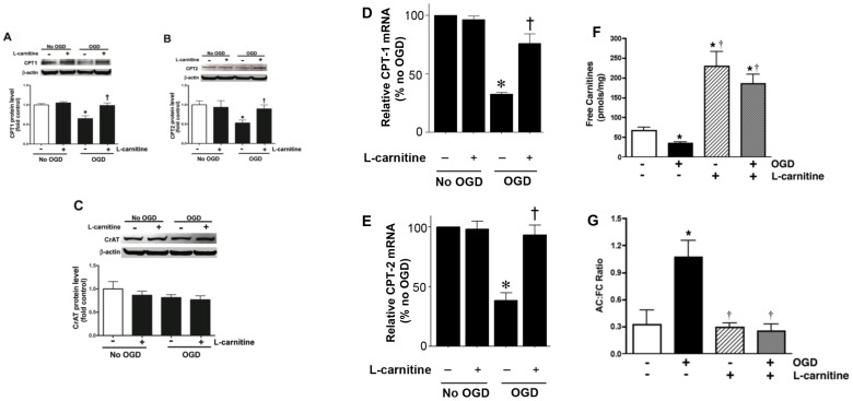 Oxygen glucose deprivation disrupts carnitine homeostasis in rat hippocampal slice cultures. Rat hippocampal slice cultures were exposed to OGD in the presence or absence of L-carnitine (LCAR, 5 mM, 2 h prior to OGD). Slices were harvested 2 h after OGD and Protein extracts (50 µg) were subjected to Western blot analysis to determine effects on CPT1 (A), CPT2 (B), and CrAT (C) protein levels. A representative blot is shown in the inset of each panel. Two hours after OGD total RNA was also isolated and mRNA levels for CTP1 (D) and CTP2 (E) were determined by SYBR Green real-time RT-PCR analyses. Both protein and mRNA expression was normalized using β-actin. In addition, the effect of OGD, in the presence and absence of LCAR, on free carnitine levels (FC, F) and the acylcarnitine (AC): FC ratio (G) was determined. Data are presented as mean ± S.E from 3 independent experiments using 60 pooled slices per experiment. * = P