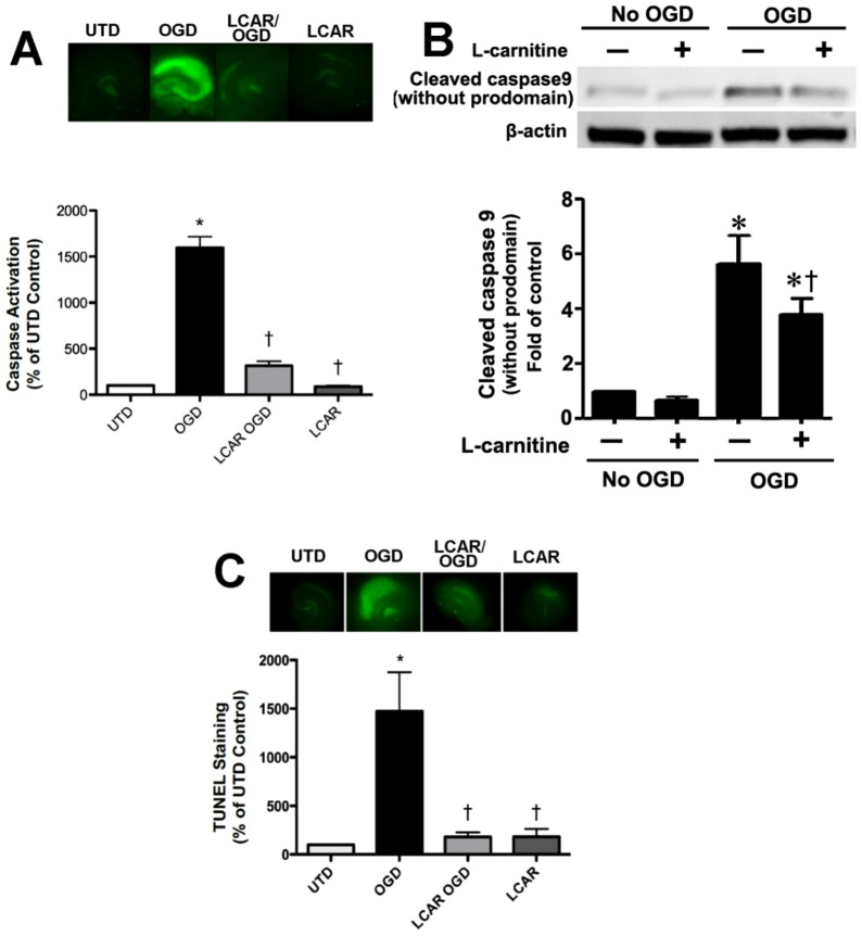 <t>LCAR</t> attenuates the increase in apoptosis induced by oxygen glucose deprivation in rat hippocampal slice cultures. Rat hippocampal slice cultures were exposed to OGD in the presence or absence of LCAR (5 mM, 2 h prior to OGD). After 24 h slices were exposed to the fluorescent caspase activation reagent (10 µM, 20 min) to estimate changes in caspase activity (A). Representative images are shown. Protein extracts (50 µg) were also subjected to Western blot analysis to determine effects on cleaved caspase 9 (CC-9). Each gel was normalized for loading using β-actin. Slices were also analyzed for <t>TUNEL</t> positive nuclei (C). Data are presented as mean ≤ S.E using 8 slices. * = P