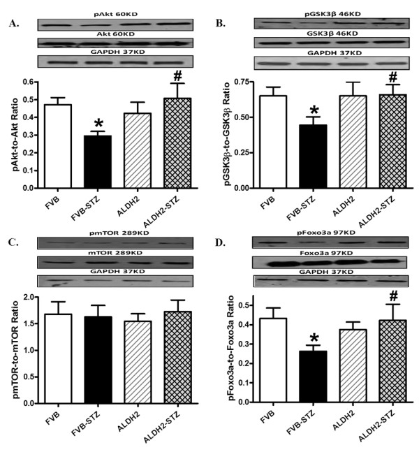 Phosphorylation of Akt, GSK3β, mTOR and Foxo3a in myocardium from FVB and ALDH2 mice treated with or without streptozotocin . (A) pAkt-to-Akt ratio; (B) <t>pGSK3β-to-GSK3β</t> ratio; (C) pmTOR-to-mTOR ratio; (D) pFoxo3a-to-Foxo3a ratio. Insets: representative gel blots of pan and phosphorylated Akt, GSK3β, mTOR and Foxo3a (GAPDH as loading control) using specific antibodies. Mean ± SEM, n = 6 to 7 mice per group. * P