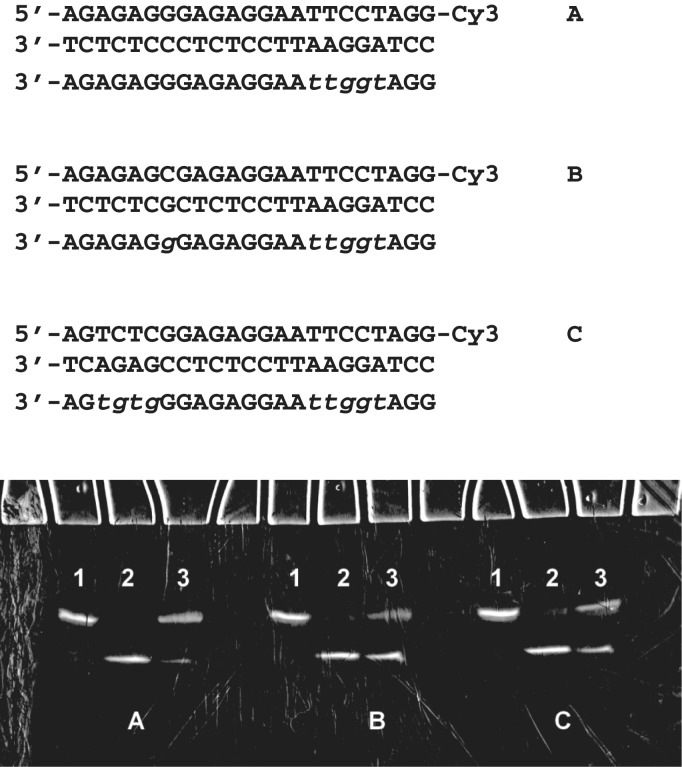 Restriction endonuclease <t>EcoRI</t> cleavage protection by 23-nt chimeric TFOs in models A , B and C . Incubation of labelled DNA duplexes in restriction buffer containing 30 mM MgCl 2 for 1 h at <t>25°C</t> alone (lane 1), with EcoRI (lane 2) and with EcoRI and a 20-fold excess of chimeric TFOs (lane 3). Electrophoresis was done with 20% polyacrylamide gel in 7 M urea and 0.1 M TBE at 25°C. Alpha nucleotides are shown in lower case italics.