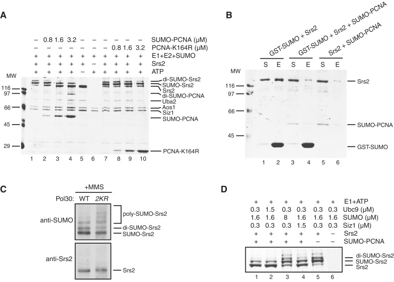 SUMO-PCNA inhibits Srs2 sumoylation by binding to the SIM of Srs2. ( A ) SUMO-PCNA inhibits Srs2 sumoylation in vitro . In vitro sumoylation assay was performed using Aos1/Uba2 (0.35 μM), Ubc9 (1.25 μM), SUMO (1.6 μM), Siz1 (1–465) (0.4 μM), Srs2 (0.75 μM) and ATP (100 μM) in the absence or presence of increasing amounts of SUMO-PCNA (0.8, 1.6, 3.2 μM, lanes 2–4) or PCNA-K164R (lanes 8–10). The reactions were stopped, resolved on 10% SDS-PAGE gel and stained with Coomassie Blue. ( B ) SUMO-PCNA outcompetes SUMO in Srs2 binding. Pull-down experiments using purified GST-SUMO (2 μM, lanes 1–4) and Srs2 (0.6 μM) in the absence (lanes 1 and 2) or presence of SUMO-PCNA (0.6 μM, lanes 3–6) were performed as in Figure 3 . ( C ) Lack of PCNA sumoylation alters the Srs2 sumoylation profile in vivo . Endogenous Srs2 from wild-type or pol30-K127, 164R yeast strains treated with 0.3% MMS was analyzed as in Figure 2 B. ( D ) The inhibitory effect of SUMO-PCNA on Srs2 sumoylation can be overcome by increasing amounts of SUMO and Siz1. Srs2 (0.75 μM) was pre-incubated with SUMO-PCNA (1.5 μM, lanes 1–4) for 15 min at RT, after which the sumoylation assay was performed using Aos1/Uba2 (0.35 μM), indicated amounts of Ubc9, SUMO and Siz1(1–465) in buffer containing 100 μM ATP and 300 mM KCl. Reactions were stopped and analyzed by 10% SDS-PAGE, followed by Coomassie Blue staining.