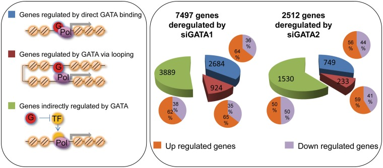 Gene expression changes induced by GATA1 and GATA2 knockdown. RNA-seq was performed using control cells and cells treated with siRNAs to either GATA1 or GATA2, and genes whose expression was altered upon knockdown were identified. By intersection of the list of deregulated genes with genes having nearby bound GATA factors, direct target genes were identified (blue pie segments). A second set of direct target genes were identified by intersection of the list of deregulated genes with genes linked to a bound GATA factor via chromatin looping (maroon pie segments). All other genes were classified as indirectly regulated genes (green pie segments). The colors in the pie chart correspond to these different categories of GATA-regulated genes, as labelled in left panel. For each category, the percentage of genes that were upregulated versus downregulated in the knockdown cells is shown by the purple and orange closed pie graphs. (G: GATA factor; Pol: RNA Polymerase II, TF: a transcription factor whose expression is regulated by a GATA factor).