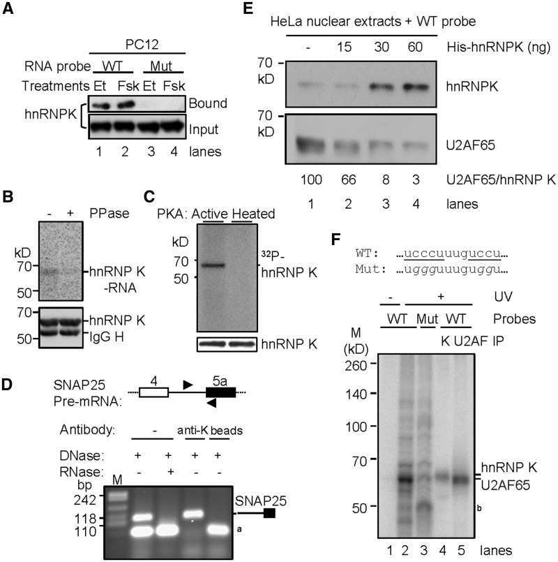 Regulation of hnRNP K binding to the KARRE by forskolin and its direct competition with U2AF65. ( A ) Western blot of hnRNP K proteins pulled down from PC12 nuclear extracts using the biotin-RNA probes in Figure 2 B. Et: vehicle ethanol, Fsk: forskolin (10 µM). ( B ) UV cross-linking immunoprecipitation of hnRNP K in forskolin-treated PC12 nuclear extracts with the 3′ splice site of exon 5a and its sensitivity to pretreatment by PPase. The wild type RNA probe sequence is the same as in Figure 2 B except that it is without biotin. The upper panel is a phosphorimage and the lower a Western blot for the hnRNP K protein in the same SDS-PAGE gel. ( C ) (Upper panel) a phosphorimage of recombinant His-hnRNP K incubated with active or heat-inactivated PKA in the presence of [32P-γ]ATP in in vitro kinase assay. Lower panel is a Western bot image of the same gel showing equal loading of His-hnRNP K. ( D ) HnRNP K interacts with the endogenous <t>Snap25</t> <t>pre-mRNA</t> transcript. Above the gel is a diagram of the PCR target pre-mRNA region of Snap25, with thin lines as introns, boxes as exons and arrowheads as locations of PCR primers. The agarose gel shows the RT-PCR products from RNA samples isolated from the nuclear extracts of forskolin-treated PC12 cells, or from immunoprecipitates using anti-hnRNP K (anti-K) or protein G beads. Each RNA sample was treated with DNase I and one of them also with RNase (A + T1) as indicated. a: a band insensitive to either DNase or RNase treatment, probably nonspecific product from the PCR primers. ( E ) Western blots of hnRNP K and U2AF65 proteins pulled down from HeLa nuclear extracts with increasing amount of His-hnRNP K added, using the wild type biotin-RNA probe in Figure 2 B. The blot was first probed with anti-hnRNP K antibody, stripped with SDS buffer and then reprobed with anti-U2AF65. ( F ) UV cross-linking of hnRNP K and U2AF65 to the 3′ splice site of exon 5a. The hnRNP K consensus motifs (underlined) and its C to G mutations (italicized) are shown above the denaturing PAGE gel. b: a protein band enhanced by the mutation, likely preferring the G tracts in the mutant, at similar size as hnRNP F/H.