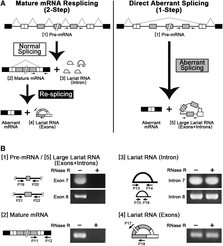 Detection of the lariat RNA consisting of only exons demonstrates the re-splicing of the endogenous TSG101 mRNA. ( A ) Schematic representation of the two postulated pathways leading to the generation of the aberrant mRNA, i.e. a conventional one-step direct aberrant splicing (right) and the proposed two-step process, including the re-splicing of the constitutively spliced mRNA (left). The pre-mRNA [1] and specific splicing products [2–5] from these two pathways were analyzed by RT-PCR with the indicated primers (arrows). ( B ) Detection of the specific splicing products [2–5] by RT-PCR using RNase R-digested (+) or RNase R-undigested (−) endogenous total RNA. The detected RT-PCR signals in the RNase R-digested sample (containing no linear RNAs) indicates an RNA species with either a 5′–2′ lariat or a 5′–3′ circular structure. However, the latter case was ruled out by the identification of a 5′–2′ branched structure ( Figure 4 A). Primers P19, P20, P21 and P22 anneal to introns 6, 7, 7 and 8, respectively. Primers P13/14 and P15/16 anneal to introns 7 and 8, respectively. Primers P11, P12, P17 and P18 anneal to exons 8, 10, 5 and 8, respectively. We used exactly the same PCR cycle numbers to amplify all these RNAs ( Supplementary Materials and Methods ).
