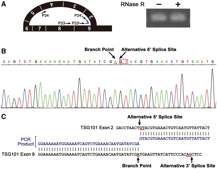 The lariat RNA containing TSG101 exon 2 to exon 9 was identified by sequencing. ( A ) Detection of the lariat exons by lariat-specific RT-PCR amplification across the branch point with the indicated primer sets (P23–P24, P23′–P24′). The RT-PCR signal remained in the RNase R-digested (+) RNA sample, revealing a closed lariat structure. ( B ) Sequencing analysis of the lariat-specific RT-PCR product. Electropherogram of the sequence containing the branch point (arrow), followed by the alternative 5′ splice site (arrow) in the lariat exons. ( C ) A sequence alignment of the PCR fragment (blue) and the TSG101 gene (black) reveals a 2′–5′ branched connection between the end of the alternative 5′ splice site ( GT ) and the branch point ( A ), which is located upstream from the alternative 3′ splice site ( AG ).