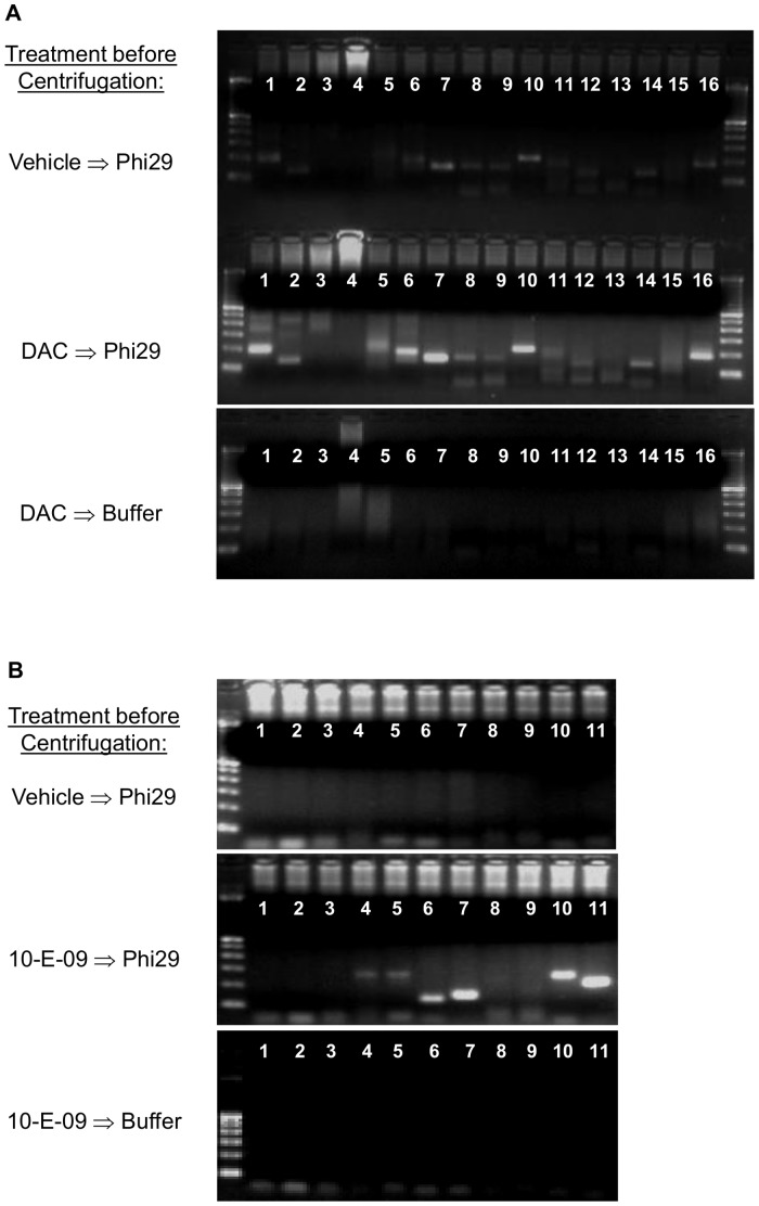 Direct Amplification of open chromatin with phi29 polymerase: Translation of DC-PCR to genome-wide chromatin analysis. CDKN2A PCR on KMS-12-PE supernatant after direct genome-wide phi29 amplification ( A ). Untreated KMS-12-PE cells or cells treated with DAC (1 µM for 3 d) were placed directly in phi29 reaction mix for 4.5 hrs at 30°C. After that, the reaction was centrifuged to pellet cell carcasses. Only the upper 50% of the supernatant was used for subsequent amplification of CDKN2A sites by conventional PCR. Supernatant from DAC treated cells yielded more CDKN2A products than vehicle treated cells. When DAC treated cells were incubated in reaction buffer without Phi29 polymerase no CDKN2A products could be amplified from supernatants by taq polymerase during conventional PCR. FOSB PCR on KMS-12-PE supernatants obtained from untreated cells or cells treated with 10-E-09 (10 µM for 6 h) after direct genome-wide phi29 amplification ( B ). The same procedure as above yielded FOSB PCR products from supernatants of 10-E-09 treated KMS-12-PE cells amplified by phi29 while vehicle treated cells or supernatants from 10-E-09 treated cells incubated in reaction buffer without phi29 yielded no FOSB regulatory region amplicons. Results are representative of three independent experiments.