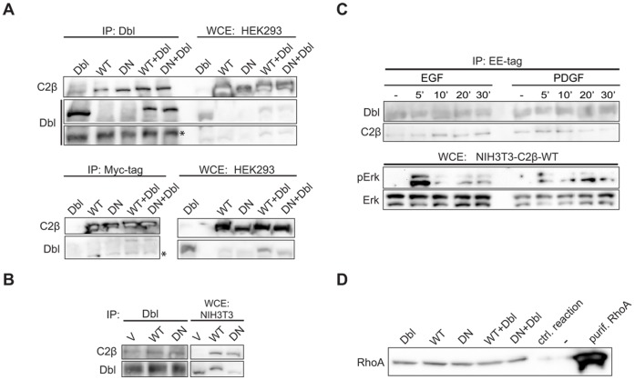 The assembly of the Dbl - PI3KC2β complex is not modulated by PI3K activity or cell stimulation with EGF or PDGF. (A) HEK293 cells were transfected with vectors encoding Dbl in combination with Myc-PI3KC2β WT or DN, or empty vector. Immunoprecipitates prepared with anti-Dbl or anti-Myc tag antibodies were analysed by western blot with the antibodies indicated. (B) Lysates from NIH3T3-V, -C2β-WT or -C2β-DN cells were immunoprecipitated with anti-Dbl antibodies and analysed by western blot. (C) Serum-starved NIH3T3-C2β-WT cells were stimulated with EGF (20 ng/ml) or PDGF (20 ng/ml) for the indicated lengths of time. Immunoprecipitates prepared with anti-Glu (EE) tag antibodies were analysed by western blot with the antibodies indicated. (D) HEK293 cells were transfected with vectors encoding Dbl in combination with Myc-PI3KC2β WT or DN, or empty vector. Immunoprecipitates prepared with anti-Dbl antibodies were analysed for GEF activity towards recombinant RhoA.