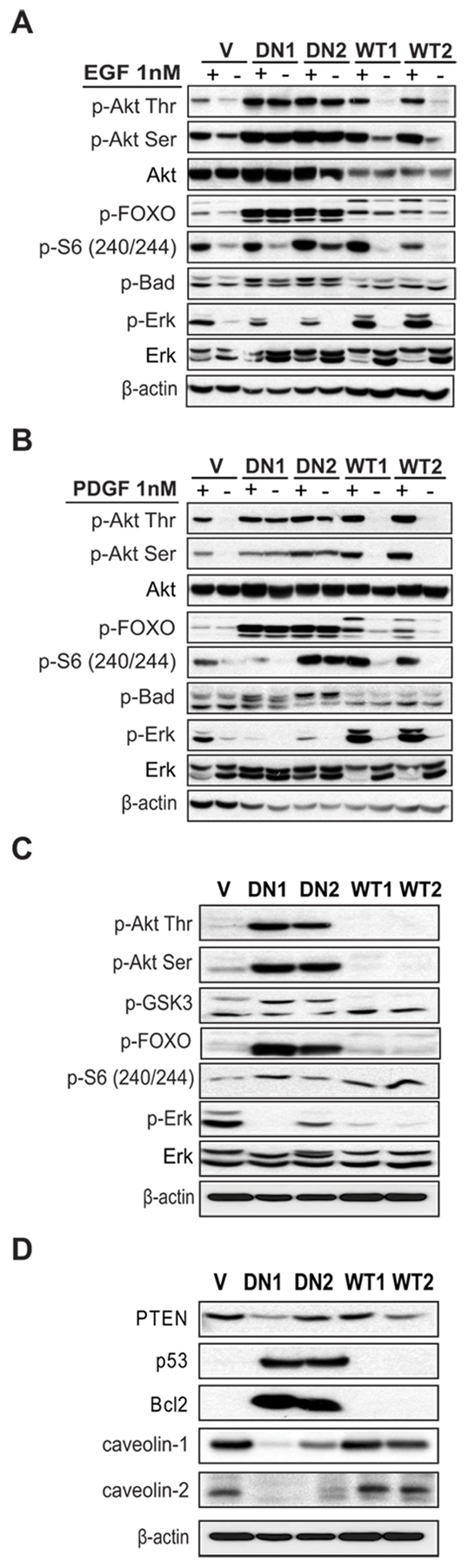 PI3KC2β protects NIH3T3 cells against anoikis. (A) NIH3T3-V, -C2β-DN and -C2β-WT cells were plated in presence of serum on ultra-low attachment matrix. After 16 h Caspase 3/7 activity was measured as readout for detachment-induced apoptosis (anoikis). Data are mean ± SD of two independent experiments. WT1, −2 and DN1, −2 indicate individual clones. (B) NIH3T3 cells transiently transfected with the wild-type Myc-PI3KC2β, constitutively active form of GFP-fused RhoA protein (CA-RhoA-GFP) or myristylated (Akt-myr) were plated 48 h post-transfection on ultra-low attachment matrix. 16 h later Caspase 3/7 activation was analysed as readout for anoikis. Data are mean ± SD of three independent experiments. Expression level of the transfected proteins and associated signalling was analysed 48 h post-transfection by immunoblotting with indicated antibodies. (C) NIH3T3-C2β-WT cells were transiently transfected with dominant-negative RhoA-GFP (DN-Rho-GFP) or control vector (V). 48 h post-transfection cells were plated on ultra-low attachment matrix and caspase 3/7 activation was measured. Data are mean ± SD of three independent experiments. 48 h post-transfection expression level of the transfected proteins was analysed by western blot with indicated antibodies.