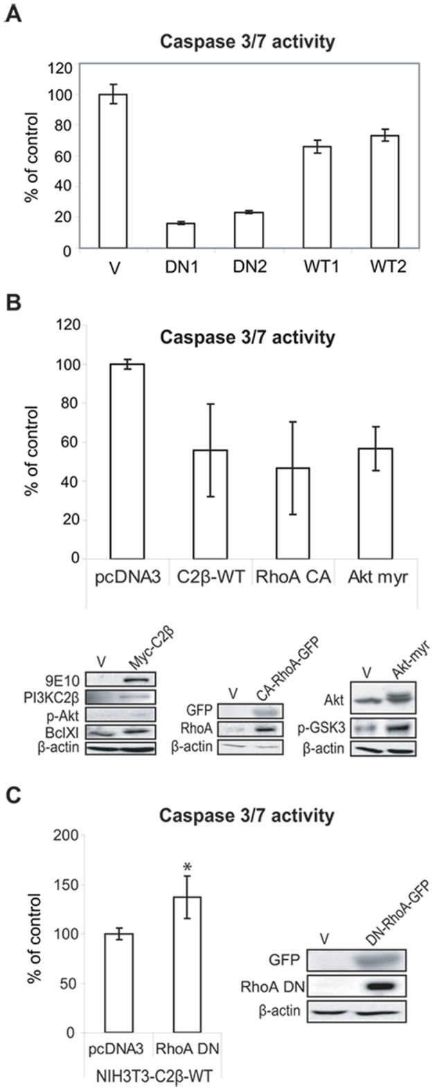 PI3KC2β increases MAPK and Akt signalling downstream of EGFR and PDGFR. (A) and (B) NIH3T3-V, -C2β-DN and -C2β-WT cells were serum-deprived overnight and stimulated for 10 min. with EGF (A) or PDGF (B) as indicated. Cell lysates were analysed by immunobloting and MAPK and Akt pathway activation was assessed with indicated phospho-specific antibodies. (C) and (D) Lysates of NIH3T3-V, -C2β-DN and -C2β-WT cells grown in 10% FCS were analysed for activated signalling molecules implicated in the cell cycle control and caveolae formation such as p53, Bcl2, PTEN and caveolin 1, −2. WT1, −2 and DN1, −2 indicate individual clones.