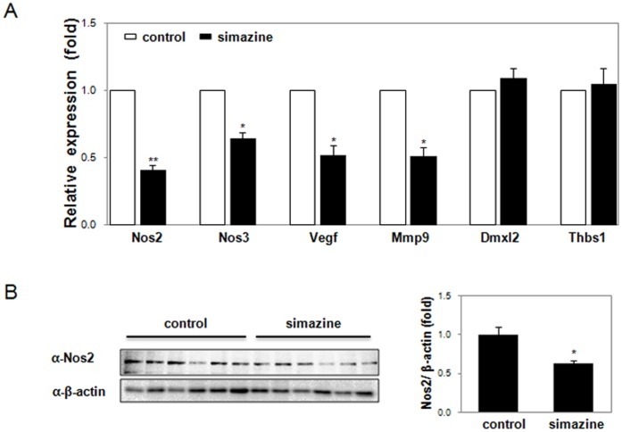 Reduced expression of target genes in the relaxin pathway in the testis of F1 mice exposed to simazine. (A) The expression of crucial target genes (Nos2, Nos3, Vegf, Mmp9) in the relaxin pathway was determined by qRT-PCR on the testis of young adult F1 control or 500 µg/kg simazine-exposed mice. The data (mean ± SEM) are from six testicular analyses performed in triplicate for each group and are shown as relative fold changes. Asterisks indicate significant differences compared with the control (* p