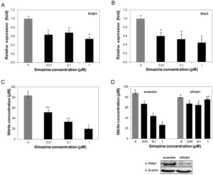 Simazine-induced decreased Rxfp1 and Nos2 expression and reduced NO production in testicular cells in vitro . Rat Leydig cells (LC540) were exposed to simazine (0, 0.01, 0.1, or 1 µM) for 36 h, and the mRNA levels of Rxfp1 (A) and Nos2 (B) were analyzed by qRT-PCR. The relative expression levels of Rxfp1 and Nos2 normalized to β-actin are shown. (C) LC540 cells were exposed to various concentrations of simazine for 36 h, and the levels of NO produced were determined by measuring nitrite concentration. (D) LC540 knockdown cells were prepared by transfection with a scrambled sequence or siRNAs for Rxfp1, and reduced Rxfp1 expression was demonstrated by western blotting. Subsequently, knocked-down cells were treated with simazine for 36 h, and the levels of NO produced were determined. For all experiments (A-D), three independent experiments were performed in triplicate, and different letters denote significant values ( p