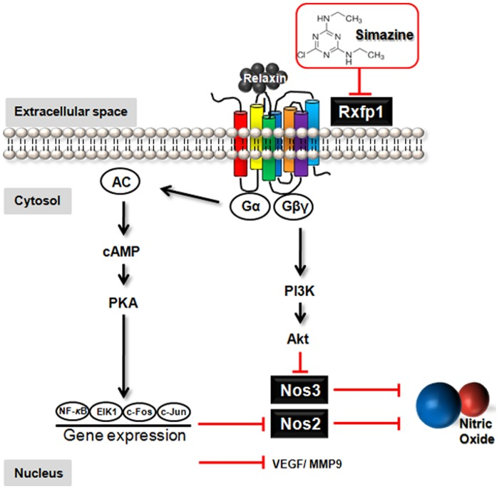 A schematic representation of the relaxin pathway when disturbed by simazine. Simazine inhibits testicular Rxfp1 expression, which consequently may limit the intracellular signaling of relaxin in the testis. The compromised relaxin-Rxfp1 signaling is further expected to downregulate the expression of relaxin target genes such as <t>Nos2,</t> Nos3, Vegf, and Mmp9, leading to the inhibition of NO release.