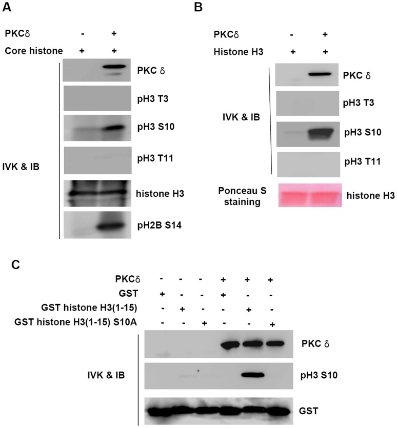 PKC δ phosphorylates <t>Ser-10</t> of histone H3 in vitro. ( A ) and ( B ), Recombinant PKCδ was incubated with ATP and core histone (A) or histone H3 (B). After the in vitro kinase(IVK) assay, the samples were analyzed by immunoblotting (IB) with anti-PKCδ, anti-phospho histone H3 Thr 3 (pH3 T3), anti-phospho histone H3 Ser 10 (pH3 S10), anti-phospho histone H3 Thr 11 (pH3 T11), anti-phospho histone H2B Ser 14 (pH2B S14) or anti-histone H3 antibody. ( C ) Recombinant GST, GST-histone H3(1–15) or GST-histone H3(1–15, S10A) proteins were incubated with recombinant PKCδ. Immunoblottings were probed with anti-phospho histone H3 Ser 10 (pH3 S10) or anti-GST antibodies.