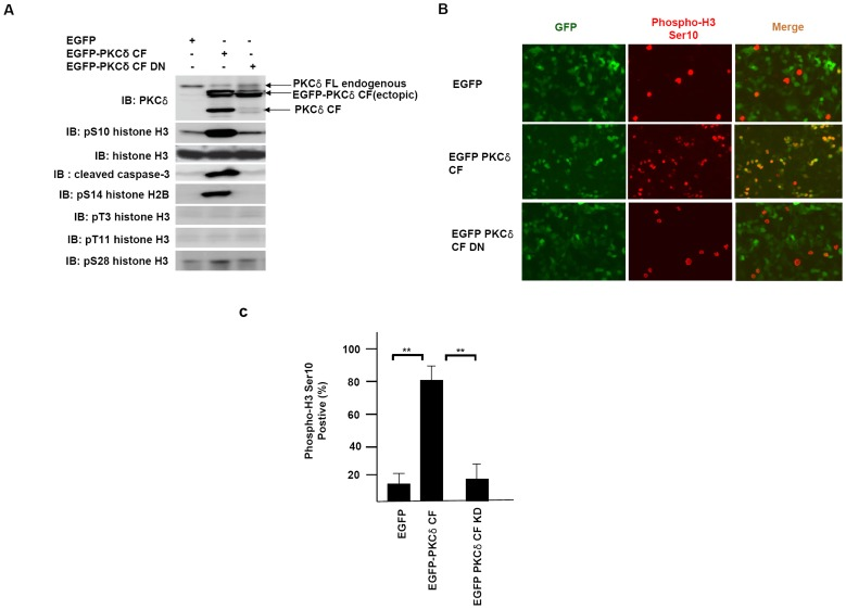 Ectopic expression of PKCδ induces Ser-10 phosphorylation of histone H3. ( A ) HEK 293A cells were transfected with EGFP vector, EGFP-PKCδ catalytic fragment (CF) and EGFP-PKCδ dominant negative form of catalytic fragment (CF DN), respectively.At 24 hours after transfection, cell lysates were subjected to immunoblot analysis with indicated antibodies. ( B ) Immunofluorescence staining of HEK293A cells transfected with PKCδ constructs. HEK293A cells were transfected with EGFP vector, EGFP-PKCδ CF and EGFP-PKCδ CF DN, respectively. Phosphorylation of histone H3 Ser 10 was monitored with specific antibody. ( C ) Kinase activity of PKCδ is required for histone H3 Ser 10 phosphorylation. Kinase-dead PKCδ CF DN was unable to phosphorylate histone H3 on Ser 10. Numbers of positive cells with anti-phospho histone H3 Ser 10 staining were calculated with means±SD value of three independent experiments. **, P