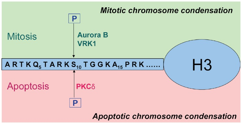 Two distinctive biological implications of the phosphorylation of histone H3 on Ser-10. In response to mitogenic stimuli, histone H3 Ser-10 is phosphorylated by mitotic kinase such as Aurora B or VRK1 to promote the mitotic chromatin condensation (upper). On the other hand, in response to death stimuli, activated PKCδ phosphorylate the same position to facilitate the apoptotic chromatin condensation (lower).