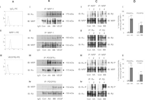 NRP-1 associated with phosphorylated PDGFRs The association of NRP-1 with PDGFRs was evaluated. ( A ) Flow cytometry analysis of cell surface (i) IgG 1 used as a control, (ii) NRP-1 and (iii) VEGFR2. A representative example of three independent experiments is shown. ( B ) The association of NRP-1 with PDGFRs was examined by immunoprecipitation (IP) followed by immunoblot (IB) analysis. MSCs grown on gelatin and cultured for 24 h in serum-free conditions were unstimulated (Con) or stimulated with either 20 ng/ml PDGF-AA, PDGF-BB or VEGF-A 165 for 10 min at 37 °C, then NRP-1 association with PDGFRs was determined by IP analysis of cell lysates. IP analysis using (i and ii) anti-NRP-1, (iii) anti-PDGFRα or (iv) anti-PDGFRβ, with anti-IgG 1 as a control, then NRP-1 association with PDGFRs detected by IB analysis using (i) anti-PDGFRα, (ii) anti-PDGFRβ or (iii and iv) anti-NRP-1, followed by IB analysis using anti-PDGFRs or NRP-1 as loading controls. A representative of three independent experiments is shown. ( C ) The percentage of (i and ii) total PDGFRs and (iii and iv) phosphorylated PDGFRs interacting with NRP-1 in a particular cell lysate was estimated by IP and IB analysis. Cell lysates were isolated from MSCs which were either unstimulated (Con) (lysates 1 and 3), or exposed to 20 ng/ml PDGF-AA (lysate 2) or PDGF-BB (lysate 4) for 10 min at 37 °C. Each cell lysate was then split into four separate 100 μg aliquots (i–iv) for IP analysis, using either anti-NRP-1, anti-PDGFRα (Rα) or anti-PDGFRβ (Rβ), then IB analysis using (i and ii) anti-PDGFRα or anti-PDGFRβ and (iii and iv) using anti-PDGFRα-Tyr 754 or anti-PDGFRβ-Tyr 1021 . As a loading control blots were re-probed using the corresponding IP antibody. The percentage of total PDGFRα or PDGFRβ interacting with NRP-1 was estimated by quantifying the IB analysis in (i) relative to the corresponding IB analysis in (ii), which was assumed to be 100%. Similarly, the percentage of p-PDGFRα-Tyr 754 or PDGFRβ-Tyr 1021 i