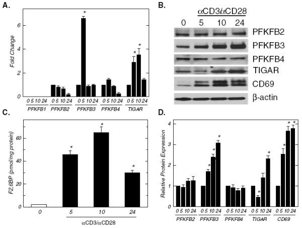 Activation of human CD3 + T cells increases <t>PFKFB3</t> expression and intracellular F2,6BP. CD3 + T cells were isolated by negative selection and then plated at a final concentration of 1 x 10 6 cells/ml in the absence or presence of anti-CD3/anti-CD28-conjugated microbeads for 5, 10 and 24 hours. ( A ), PFKFB1-4 and <t>TIGAR</t> mRNA expression was determined using real-time RT-PCR analyses. ( B ), PFKFB2-4, TIGAR, CD69 and β-actin protein expression was determined by Western blot analyses. ( C ), Intracellular F2,6BP concentration was determined using a coupled enzyme assay. ( D ), Densitometric analysis of PFKFB2-4, TIGAR, CD69 and β-actin protein expression. Data are representative of three independent experiments. * p