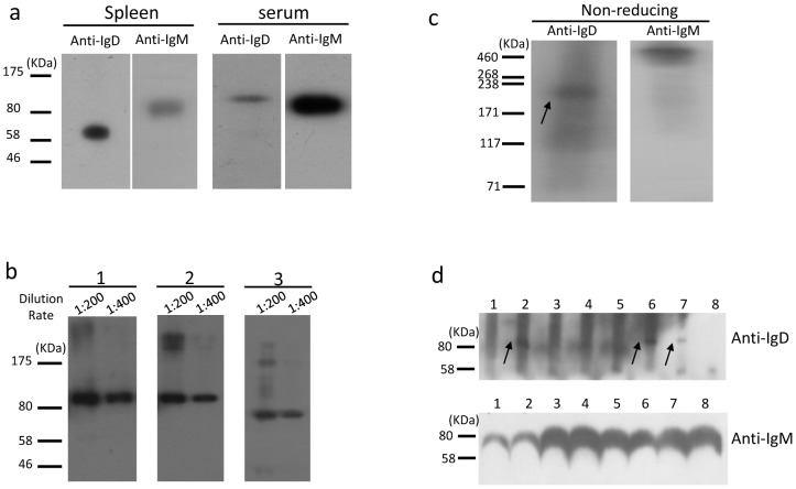 Immunoblot analysis of endogenous bovine IgD. (a) Western blot of splenic membrane and serum proteins. (b) Western blot analysis of the IgD glycosylation in bovine serum. 1, Untreated serum proteins; 2, endo-α-N-acetylgalactosaminidase-treated serum proteins; 3, PNGase-treated serum proteins. The primary antibody 13C2 was diluted at 1∶200 or 1∶400. (c) Serum immunoblot analysis with mAb 13C2 and anti-bovine IgM polyclonal antibody under nonreducing conditions. The arrow indicates the monomer of IgD. (d) Immunoblot detection of serum IgD and IgM in differently aged cows. 1, 60 days old; 2, 180 days; 3, 1 year; 4, 2 years; 5, 3 years; 6, 4 years; 7, 5 years; 8, 6 years. The arrows indicate the IgD heavy chain.