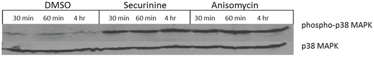 Securinine induces rapid phosphorylation of p38 MAPK in MonoMac-1 cells. MonoMac-1 cells were treated with DMSO, 50 uM securinine or 20 ug/mL anisomycin for the indicated times. Lysates were prepared and subjected to Western blot with anti-phospho-p38 MAPK (top panel) or anti-p38 MAPK (bottom panel). Blots were developed with ECL (GE Healthcare) and exposed to film for autoradiography. Anisomycin was used as a positive control.