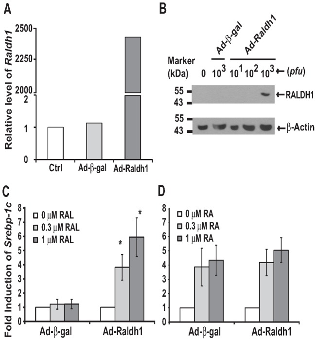 The over-expression of RALDH1 resulted in the RAL-mediated induction of Srebp-1c in 833/15 INS-1 cells. A. The adenovirus-mediated Raldh1 mRNA expression. B. <t>Immuno-blot</t> of the over-expression of RALDH1 protein in INS-1 cells. Whole cell lysates (50 µg/sample) of the control cells (lane 1), cells infected by the indicated pfu of Ad-β-gal (lane 2) or Ad-Raldh1 (lanes 3–5) were separated in 8% SDS protein gels, and transferred to the <t>PVDF</t> membranes. Primary antibodies to RALDH1 (1∶1000 dilution in TBST containing 5% dry milk), and to β-Actin (1∶1000 dilution in TBST containing 5% bovine serum albumin) were recognized by goat anti-rabbit IgG conjugated to horseradish peroxidase, and visualized by chemiluminescence. The films were scanned and presented as described in the Material and Methods . C. RAL only induced Srebp-1c expression in cells over-expressing RALDH1, but not β-gal. D. RA induced Srebp-1c expression in cells over-expressing either β-gal or RALDH1. Results were presented as means ± SD of fold inductions (* for comparing the different dosages of RAL in cells infected by Ad-Raldh1 using one way ANOVA, n = 3, all p