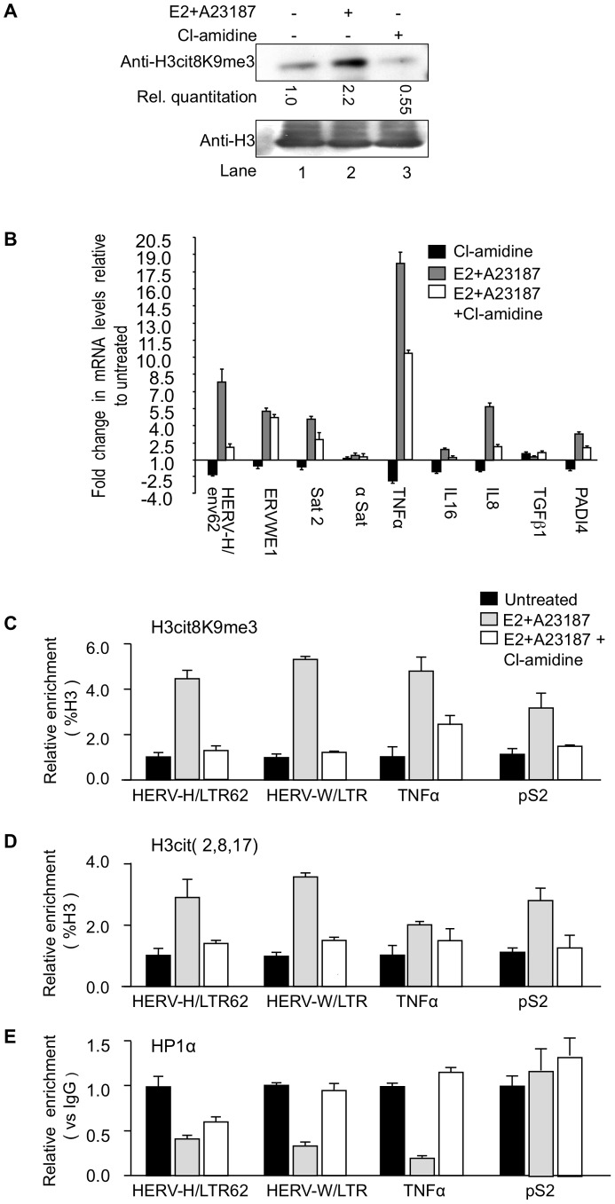 PADI4 activity controls HP1α occupancy and histone H3 citrullination at TNFα and HERV promoters. (A) Total protein extracts from MCF7 cells treated either estradiol (E2) or ionophore (A23187) and/or Cl-amidine were immunoblotted with the indicated antibodies. (B) Total RNA from MCF7 cells either untreated or treated with estradiol followed by ionophore (E2+A23187) and/or Cl-amidine (E2+A23187+Cl-amidine) treatment was quantified by RT-qPCR. Data are shown relative to the un-induced condition (set to 1). Values are mean ± SEM from four experimental replicates. (C–E) ChIP with the listed antibodies was carried out with chromatin from MCF7 cells either untreated or treated with estradiol and ionophore (E2+A23187) in the absence or presence of Cl-amidine. The relative enrichments of the indicated antibodies on the shown LTRs or promoters were measured by qPCR. Data are presented as a percentage of histone H3 or relative to non-immune IgG as indicated. Enrichments are presented relative to indicated controls (set to 1). Values are means ± SEM from four PCR measures of representative ChIP experiments.