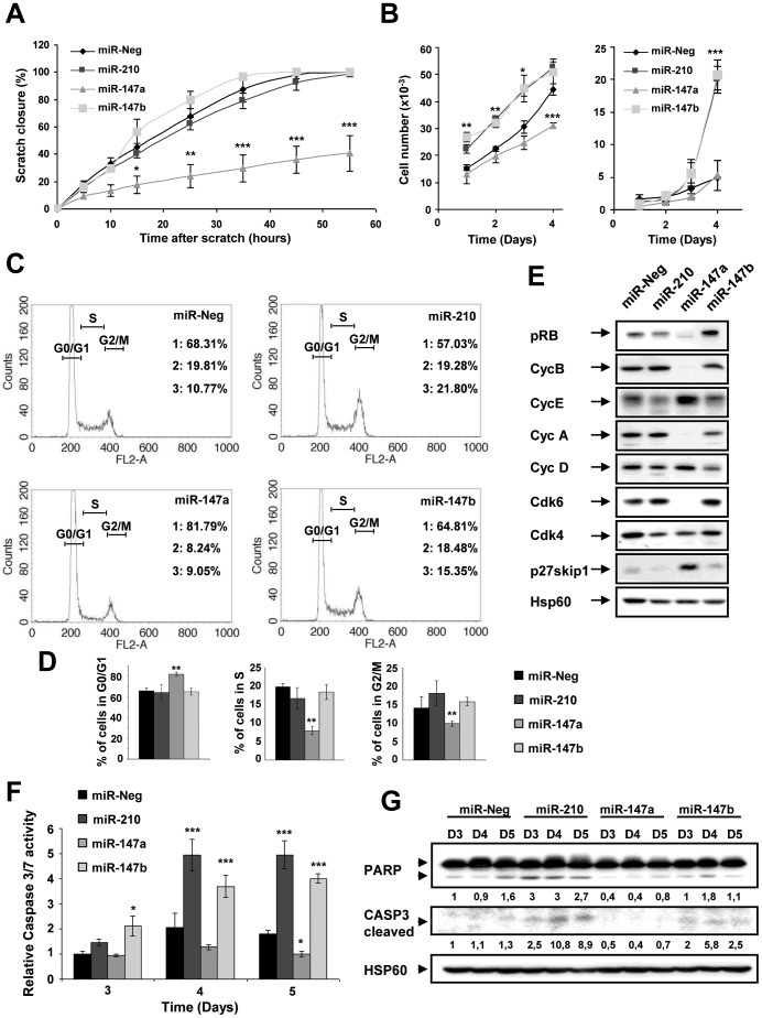 Biological consequences of miR-210, miR-147a and miR-147b overexpression on A549 cells proliferation and viability. A549 cells were transfected with 10 nM pre-miR-210, pre-miR-147a, pre-miR-147b or pre-miR-Neg and analyzed for several proliferation (A-E) and viability (F-G) parameters. A) Confluent cell monolayer was wound and filmed for 55h under light time laps microscope. Curves represent wound beds closure quantified by measuring the wound bed surface at the indicated times after injury using the Image J software. Values are expressed in percentage of the initial surface and correspond to the mean ± SD of 3 microscope fields. B) Effect of miR-210 and miR-147 family on A549 cell proliferation. Exponentially growing A549 cells were transfected and counted each day during 4 days with blue Trypan. Data show mean ± SD values of trypan blue negative (left panel) and trypan-blue positive cell number (right panel) from 2 independent experiments performed in triplicate. C) Cells were stained with propidium iodide and analyzed by flow cytometry. The G0/G1 (1), S (2) and G2/M (3) fractions were quantified in each condition. D) Quantification of each of these 3 fractions (G0/G1, S and G2/M) from 3 independent experiments. E) Expression of Cyclin D, Cyclin A, Cyclin E, CDK4, CDK6, pRB (6 molecules involved in G1 phase progression), p27Kip1 (inhibitor of G1 phase progression) and Cyclin B (involved in G2/M phase) were assessed by Western blot. Hsp60 corresponds to the loading control. F) Caspase 3/7 assay was performed at 3, 4 and 5 days after transfection. Data are mean ± SD values of 3 independent experiments performed in triplicate. See also Figure S4A . G) Expression of active caspase-3 (cleaved) and PARP, a substrate of caspase-3 was analyzed by Western blot. HSP60 corresponds to the loading control. Normalized densitometric quantification are shown for each lane. See also Figure S4C and Figure S4D (* p
