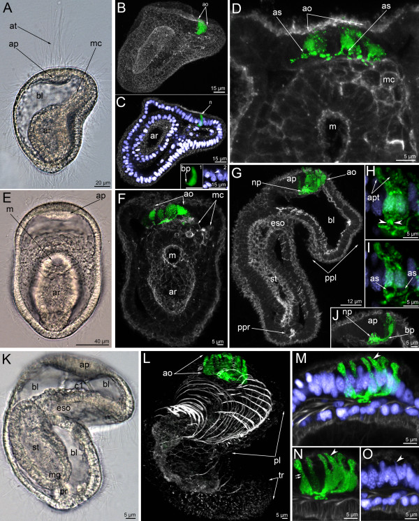 The organization of the serotonin-like immunoreactive nervous system in the mid-gastrula (A-D), late gastrula I (E-F), late gastrula II (G-J), and preactinotrocha (K-O). Photographs of live animals (A, E, K) and Z-projections of embryos after mono-, double, and triple staining for 5-HT (serotonin) (green), phalloidin (grey), and Hoechst (violet). Apical is to the top on all micrographs except for B and C, where it is to the upper right. ( A ) Mid-gastrula gross anatomy showing the apical plate (ap), the archenteron (ar), the apical tuft (at), the blastocoel (bl), and the mesodermal cells (mc); lateral view, ventral side is to the right. ( B ) Overview of a mid-gastrula stage with apical organ (ao). ( C ) The same embryo with one perikaryon (n). Image created from selected optical sections from the mid region of the specimen. (C-insert 1) Detail of a perikaryon with short basal process (bp). (C-insert 2) Detail of the nucleus of the perikaryon, which has an upper thin protrusion (arrowhead). ( D ) Anterior portion of a mid-gastrula with apical organ, which consists of four perikarya. Some perikarya have a special area (as) devoid of signal under the wide part of the cell containing the nucleus. Ventral view showing mesodermal cells (mc) and mouth (m). ( E ) Ventral view of live late gastrula I showing apical plate, mouth, and archenteron. ( F ) Serotonin-like immunoreactive nervous system in late gastrula I: the apical organ is formed by 6–7 perikarya. Ventral view showing mesodermal cells, mouth, and archenteron. Image created from selected optical sections from the mid region of the specimen. ( G ) Optical sagittal section through a late gastrula II, which has a large apical organ, the precursor of the preoral lobe (ppl) with spacious blastocoels (bl) and apical plate, esophagus (eso), stomach (st), and the precursor of the proctodaeum (ppr). (H-J) Detail of perikarya of a late gastrula II. ( H ) Two perikarya with two separated apical parts (apt) and one basal pro