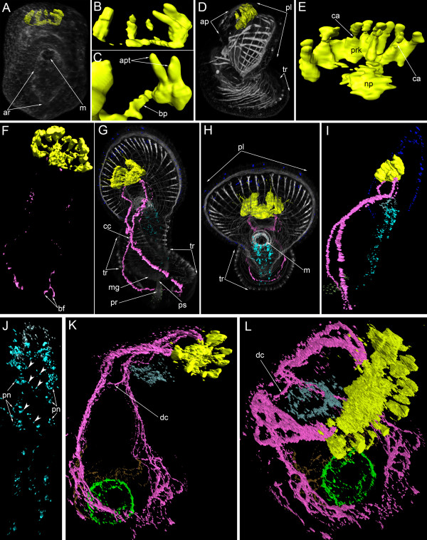 Three-dimensional reconstructions of the serotonin-like immunoreactive nervous system in consecutive stages of development. Color: yellow – apical organ; pink – tentacular neurite bundle; light green – telotroch neurites; dark green – nerve net around the proctodaeum; cyan – ventral nerve cord; pale blue – oral nerve ring; dark blue – marginal neurites of the preoral lobe; brown – trunk neurites; grey/white – muscle system and all actin-containing structures (parietal cytoplasm, microvilliy, etc.). ( A ) Mid-gastrula, dorsal view, apical is to the top. The mouth (m) and archenteron (ar) are visible. ( B ) Dorsal view of the apical organ which consists of four or five perikarya and their neurites. ( C ) Two adjacent perikarya which have two apical parts (apt) and one basal process (bp). ( D ) Lateral view of a preactinotrocha (ventral side to the right) showing apical plate (ap), preoral lobe, and tentacular ridge (tr). ( E ) Dorsal view of the apical organ in a preactinotrocha showing perikarya (prk), neuropil (np), and constricted areas (ca) between the apical and basal parts of some perikarya. ( F ) Dorsal view of the nervous system in a young actinotrocha, which has a large apical organ and two thin dorso-lateral branches of the tentacular neurite bundles. The branches bifurcate (bf) at the terminal end. ( G ) Dorso-lateral view of a 6-day-old actinotrocha (preoral lobe bends backward) showing midgut (mg), proctodaeum (pr), pyloric sphincter (ps), and tentacular ridge (tr). The two dorsal branches of the tentacular neurite bundle form close contact (cc) on the dorsal side. ( H ) The same larva, anterior view. The tentacular ridge contains latero-frontal cells, which have long thick microvilli strongly stained by phalloidin. The mouth is marked by thick muscles; the preoral lobe (pl) bends backward. ( I ) The same larva, lateral view of the nervous system. ( J ) The same larva; the image includes only the ventral part of the nervous system of the oral field. The p