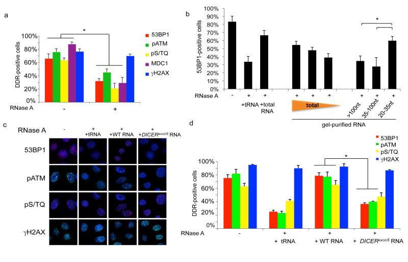 Irradiation-induced DDR foci are sensitive to RNase A treatment and are restored by small and DICER dependent RNAs a. Irradiated HeLa cells (2 Gy) were treated with PBS (-) or RNase A (+) and probed for 53BP1, pATM, pS/TQ, MDC1 and γH2AX foci. Histogram shows the percentage of cells positive for DDR foci. b. 100, 50 or 20 ng of gel-extracted total RNA and 50 ng of RNA extracted from each gel fraction ( > 100, 35-100 and 20-35 nt) were used for DDR foci reconstitution after RNase treatment. c. 53BP1, pS/TQ and pATM foci are restored in RNase-treated cells when incubated with RNA of wild-type cells but not with RNA of DICER exon5 cells or tRNA. e. Histogram shows the percentage of cells positive for DDR foci. Error bars indicate s.e.m. (n ≥3). Differences are statistically significant (* p-value