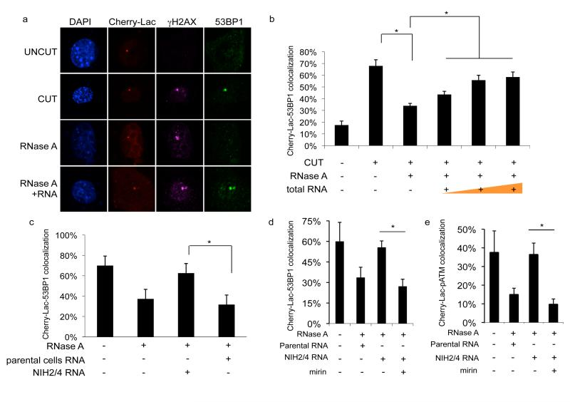 Site-specific DDR focus formation is RNase A-sensitive and can be restored by site-specific RNA in a MRN-dependent manner a. Cut NIH2/4 cells display a 53BP1 and γH2AX focus colocalizing with Cherry-Lac focus. 53BP1, but not γH2AX, focus is sensitive to RNase A and is restored by incubation with total RNA. b. Histogram shows the percentage of cells in which 53BP1 and Cherry-Lac foci co-localize. Addition of 50, 200, or 800 ng of RNA purified from cut NIH2/4 rescues 53BP1 foci formation in a dose-dependent manner. c. RNA purified from cut NIH2/4 restores 53BP1 focus while RNA from parental cells expressing I- Sce I does not. d, e. RNase A-treated cut NIH2/4 cells were incubated with RNA from cut NIH2/4 cells, or parental ones, to test 53BP1 or pATM focus reformation in the presence of the MRN inhibitor mirin (100 μM). Histogram shows the percentage of cells positive for DDR focus. Error bars indicate s.e.m. (n ≥3). Differences are statistically significant (* p-value
