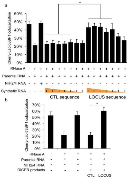 Chemically synthesized small RNAs and  in vitro  generated DICER RNA products are sufficient to restore DDR focus formation in RNase A-treated cells in a sequence-specific manner a.  Chemically synthesized oligonucleotides were annealed and were tested to restore DDR focus formation in RNase A-treated cut NIH2/4 cells. Mixed with a constant amount (800 ng) of parental cells RNA, a concentrations range (1 ng/μl – 1 fg/μl, ten-fold dilution steps) of locus-specific or GFP RNAs was used. Locus-specific synthetic RNAs (down to 100 fg/μl) allow site-specific DDR activation.  b . Short double-stranded RNAs generated by recombinant DICER were tested to restore DDR focus formation in RNase A-treated cut NIH2/4 cells. 1 ng/μl RNAs were tested mixed with 800 ng of parental cells RNA. Locus-specific DICER RNAs, but not control RNAs, allow site-specific DDR activation. Histograms show the percentage of cells positive for DDR focus. Error bars indicate s.e.m. (n ≥3). Differences are statistically significant (* p-value