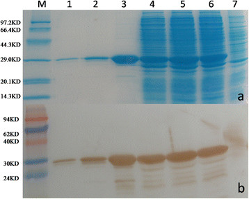 The expression of GST-ORF2-E protein. GST-ORF2-E protein was analyzed by (a) SDS-PAGE and (b) Western blot with an anti-GST monoclonal antibody. Lane 1: the third elution; Lane 2: the second elution; Lane 3: the first elution; Lane 4, supernatant of cell lysate after sonication; Lane 5: cell pellet after sonication; Lane 6: BL21 cells lysate after induction of IPTG; Lane 7, BL21 cells lysate before induction of IPTG. A clear band of 29 kDa was observed after induction.