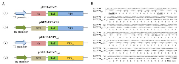 Schematic diagram of the constructs used for TAT-Apoptin protein expression. ( A ) Schematic representation of the TAT-Apoptin protein fused with different affinity tags together with the expression vectors used in this study. The designations of the TAT-Apoptin protein and its expression vectors are indicated, ( a ), ( b ), ( c ) and ( d ). The constructs, ( a ) and ( b ), contain the full-length TAT-VP3 gene cloned into the vectors pET28a and pGEX-4 T-1; these were used for expression of TAT-Apoptin protein with either a six-histidine (6 × His) tag or a glutathione-s-transferase (GST) tag at the N-terminus, respectively. Constructs ( c ) and ( d ) containing the TAT-VP3 gene that was codon-optimized; this was derived from construct ( b ) by replacing rare codons without altering the amino acid sequence. The codon-optimized TAT-VP3gene, TAT-VP3 opt , was then cloned into pET28a and pGEX-4 T-1. ( B ) Sequence comparison between the TAT-VP3 gene and the TAT-VP3 opt gene. The nucleotide sequences were compared between the original TAT-VP3 gene (wild type TAT-VP3) and the sequence of codon-optimized TAT-VP3 gene (TAT-VP3 Opt ) over the whole coding region. An asterisk ( * ) represents the fact that the aligned nucleotides are identical.